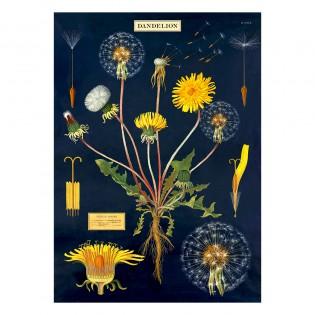 Affiche pédagogique Dandelion pissenlit - Cavallini & Co